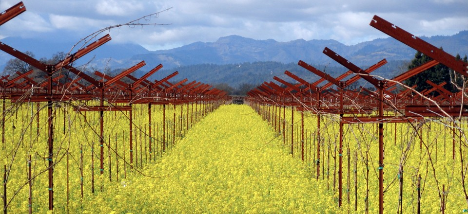 Mustard Season in Napa Valley