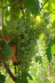 215px-Rolle_(Vermentino)